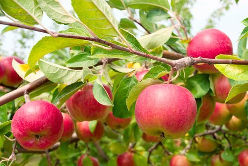 apfelbaum-pflanzen-und-pflegen