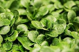 vogerl-salat